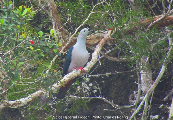 Spice Imperial Pigeon from Kabui Bay