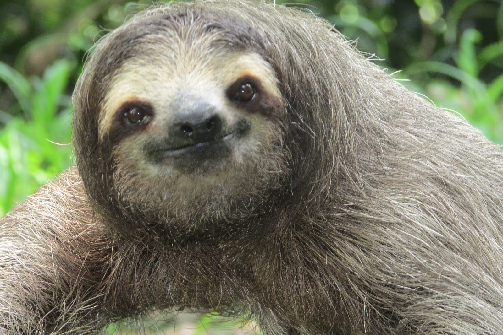 sloths funny faces zoologist looking confused perezoso climbing toed three