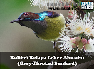 perawatan harian kolibri kelapa pakan kolibri