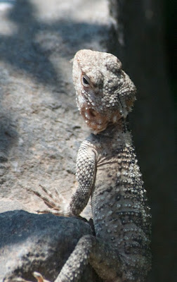 Roughtail Rock Agama (Stellagama stellio)