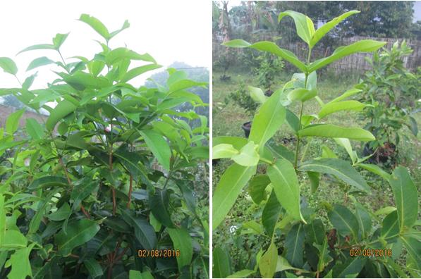Pertumbuhan Vegetatif Jambu Madu Deli