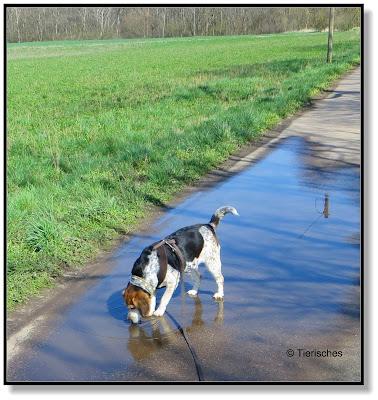 Spaziergang mit Beagle