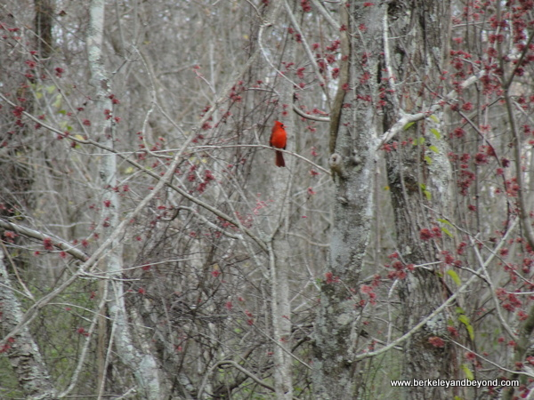 red cardinal spotted on Cajun Pride Swamp Tour in LaPlace, Louisiana