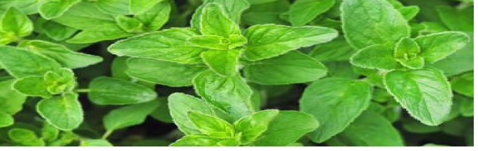 Oregano - beneficial properties and contraindications for women, men and children 34