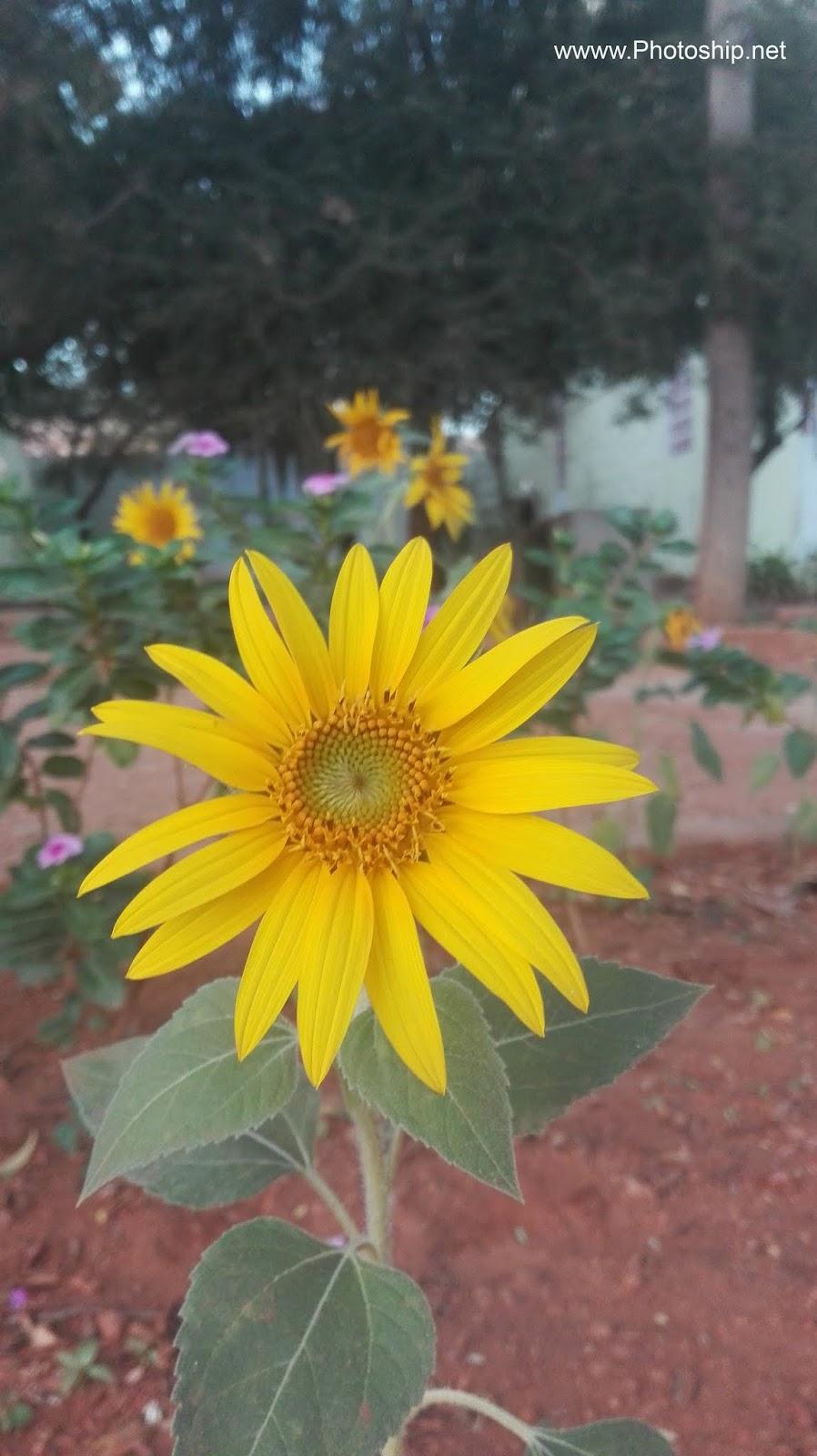sunflower symbolize adoration loyalty photoship net. Black Bedroom Furniture Sets. Home Design Ideas
