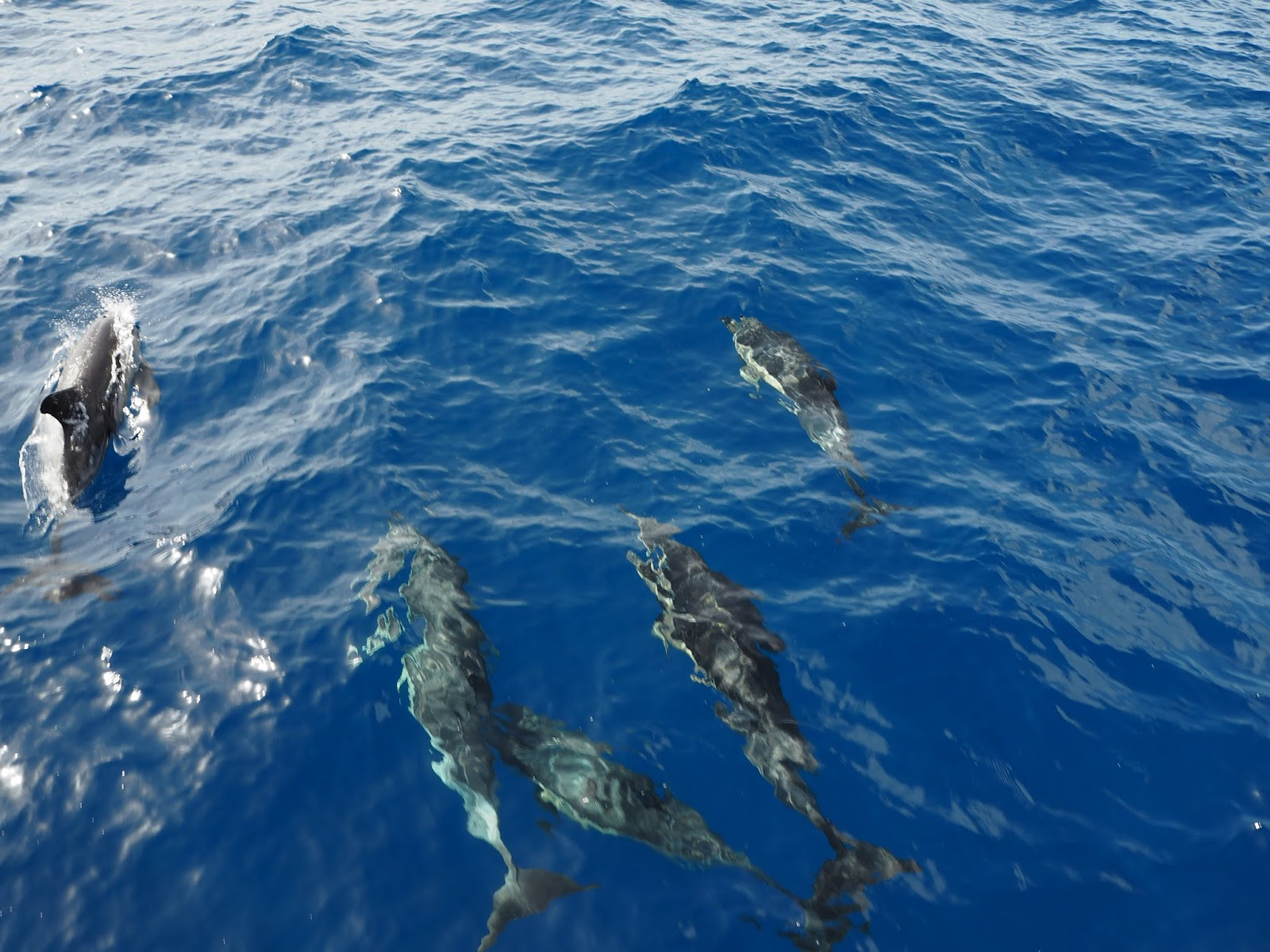 common dolphins tenerife
