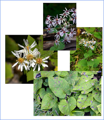 Large-leaved Aster collage Eurybia macrophylla