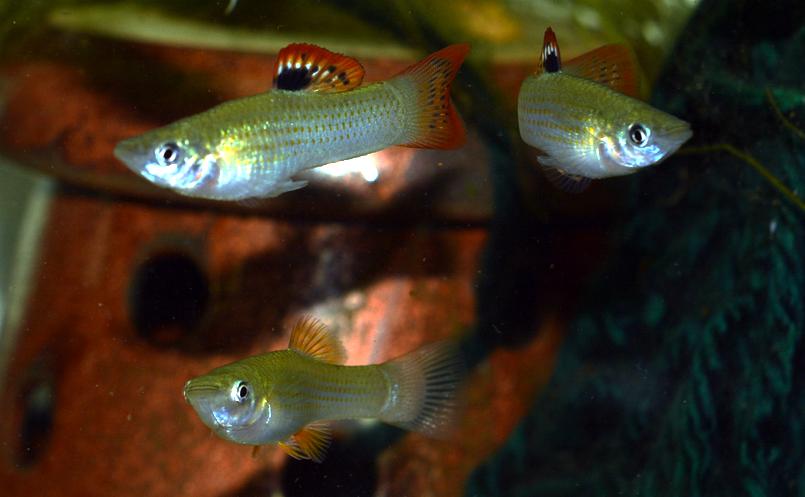 Lunky S Fish Poecilla Salvatoris Or Liberty Molly Breeding Group