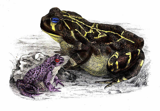 Color illustration of frog and toad from an 1883 zoological book