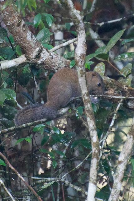 Grey-bellied Squirrel (Callosciurus caniceps