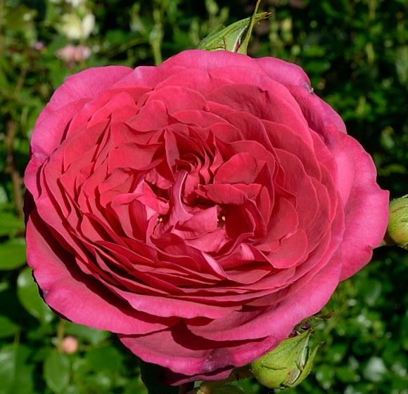 Goete Rose сорт розы Тантау фото Минск
