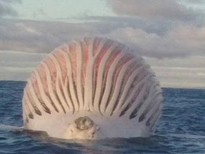 Ikan Paus Raksasa Muncul Di Laut Australia