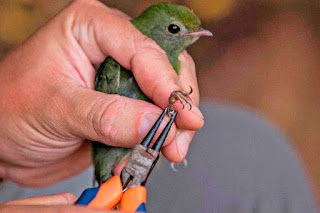 Nos monitoramentos, os pesquisadores identificaram 288 espécies de aves, entre elas duas listadas como globalmente ameaçadas de extinção: a marialeque-do-sudeste (Onychorhynchus swainsoni) e a choquinha-pequena (Myrmotherula minor).