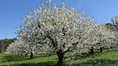 Blühender Kirschbaum auf einer Wiese