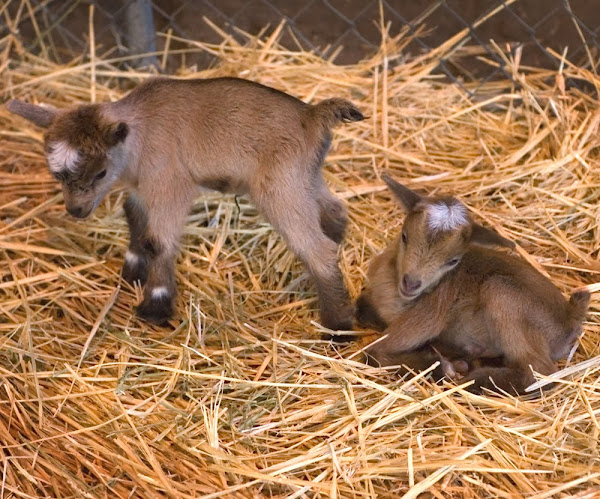 goat kids, newborn goat kids, newborn goats nursing, nursing newborn kids, how to care for baby goats, baby goats, goat kids, newborn goat kids, cute baby goats, cute goat kids