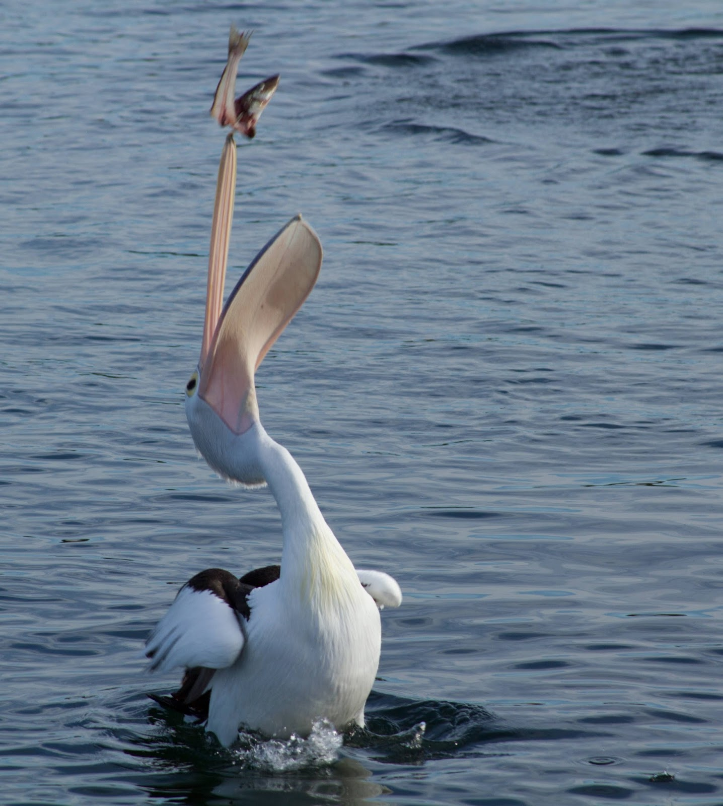 A pelican feeding on fish.