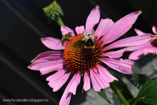 purpursolhatt echinacea den herlige h ststauden et planteportrett. Black Bedroom Furniture Sets. Home Design Ideas