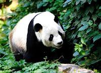 صور الباندا , معلومات وصور عن دب الباندا
