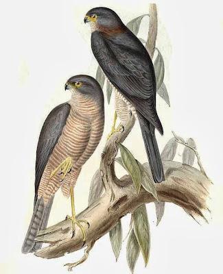 Gavilán acollarado Accipiter cirrocephalus