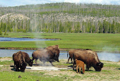 Wiki-Bison near a hot spring