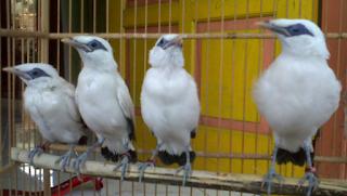 Burung Jalak Bali Usia Satu Bulan ke atas