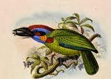 Barbudo multicolor Megalaima Psilopogon rafflesii