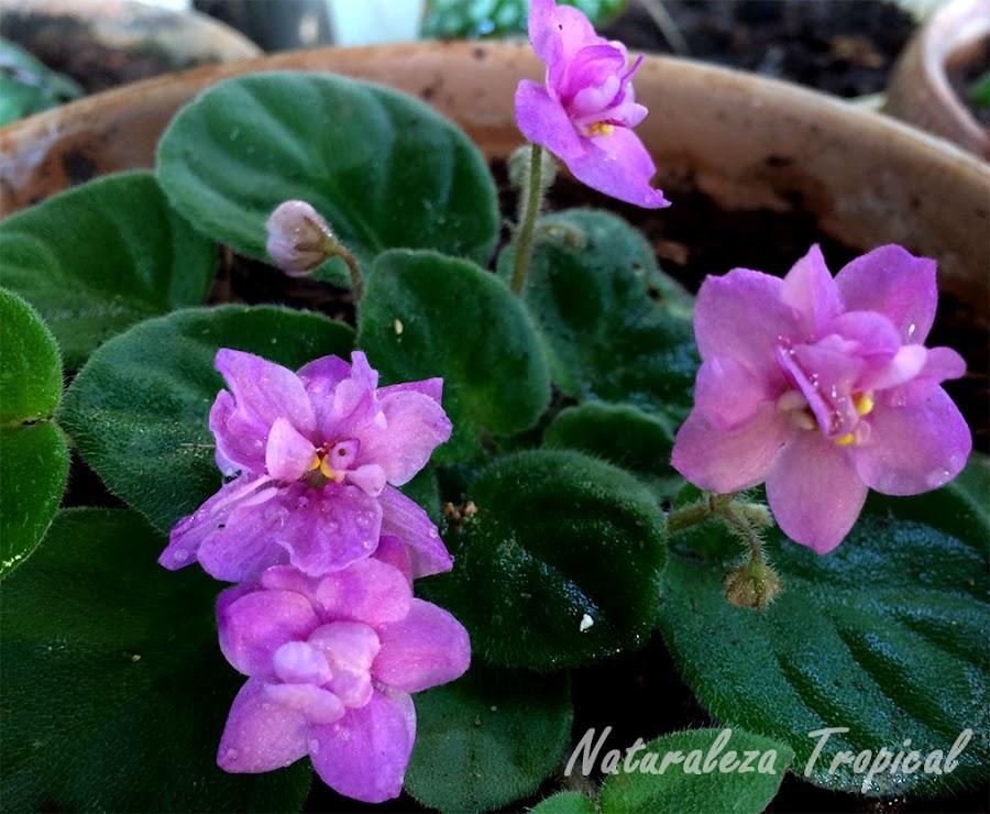 Violetas africanas en floración, género Saintpaulia
