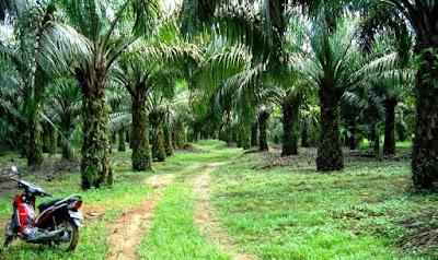 hak guna usaha perkebunan kelapa sawit
