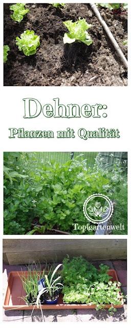 Gartenblog Topfgartenwelt Dehner: sichtbare Pflanzenqualität bei Gemüsesetzlingen