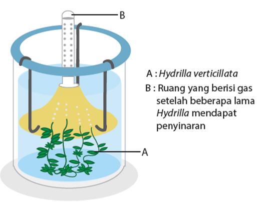 Coretan Si Violinist Laporan Praktikum Fotosintesis Tanaman Hydrilla Verticillata