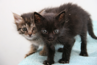 black kitten and tabby kitten