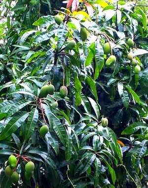 Mango Tree Pictures Photos