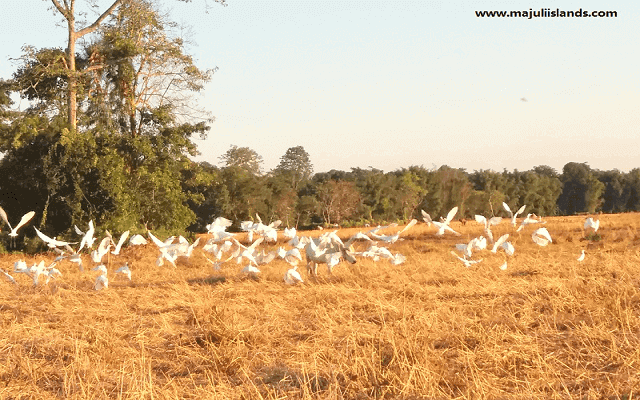 Flying Birds Of Majuli Island