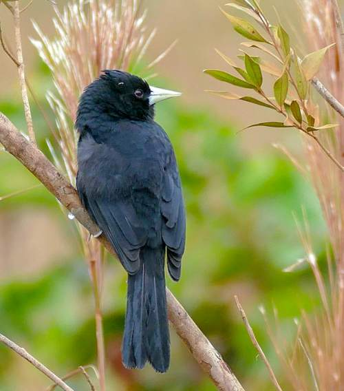 Bird World - Image of Solitary black cacique - Cacicus solitarius