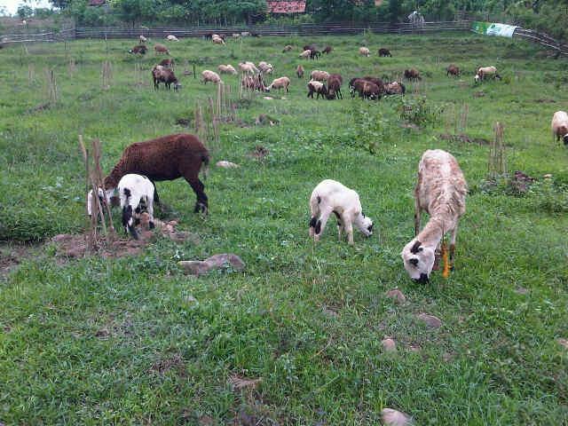 Hasil gambar untuk rumput untuk pakan kambing