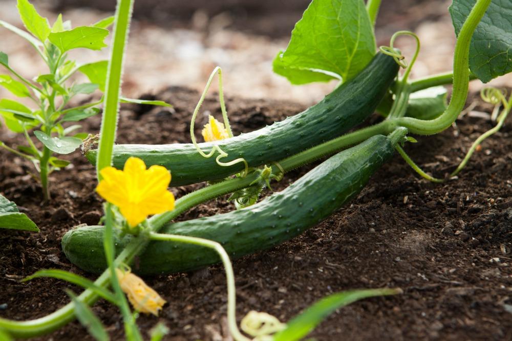 cucumber squash growing in garden
