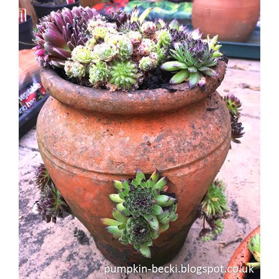 Sempervivum old Strawberry Planter Pot