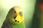 Budgie of the Month: Buddy Lee