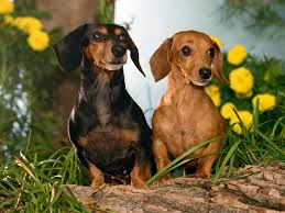 black and brown Dachshund dogs