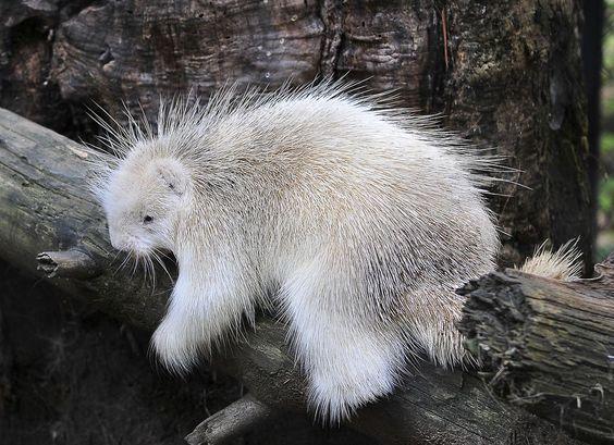 Porcupine | A-Z List of 125 Rare Albino Animals [Pics]