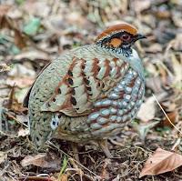hill partridge (Arborophila torqueola)