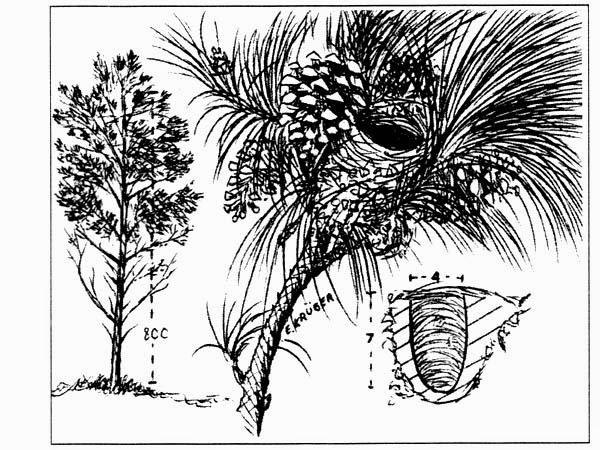 Tangará común, Euphonia chlorotica