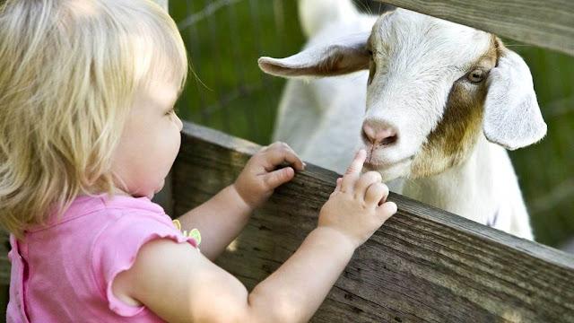 Organic Goat Milk Formula