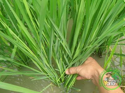 Padi Mekongga Umur 37 HST tumbuh subur di Pagaden Barat, Subang