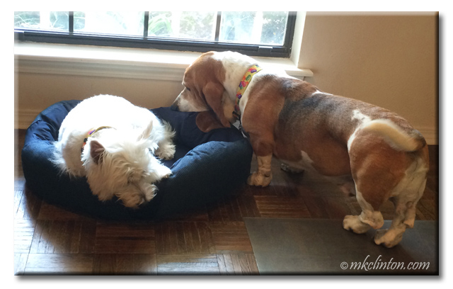 Basset Hound sniffing Westie's new BeCo bed