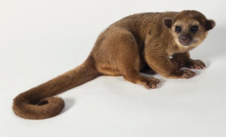 Amazon rainforest animals kinkajou amazon rainforest for Amazon com pillow pets