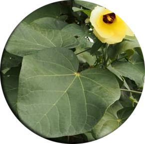 suket teki, rumput teki, obat tradisional, komposisi herbiotic, kandungan herbiotic, efek samping herbiotic,