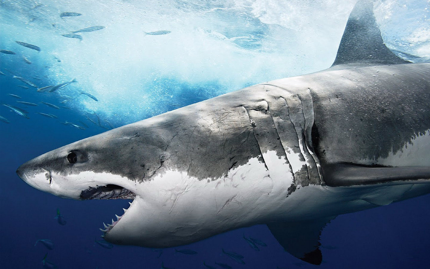 Shark Wallpaper HD Shark Pictures - HD Animal Wallpapers