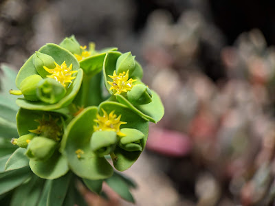 [Euphorbiaceae] Euphorbia sp - macro.