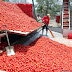 Processing of Tomatoes